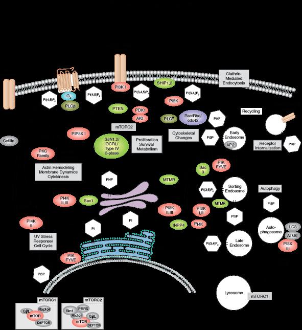 PI3K/AKT/MAPK Signaling | Cell Signaling Technology on phosphatidylinositol 3-kinase pathway, insulin pathway, jak 1 2 3 signaling pathway, pi 3-kinase pathway, adenylate cyclase pathway, il-6 signaling pathway, thyroid pathway,