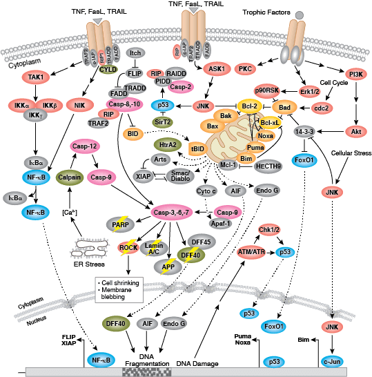 Overview: Regulation of Apoptosis