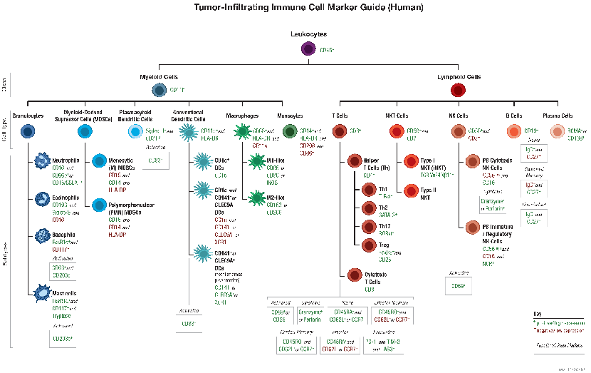 Tumor-Infiltrating Immune Cell Markers (Human)