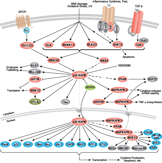 p38 MAPK Signaling Interactive Pathways
