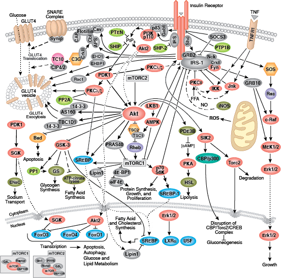 Insulin Receptor Signaling | Cell Signaling Technology