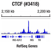CTCF (D31H2) XP® Rabbit mAb #3418