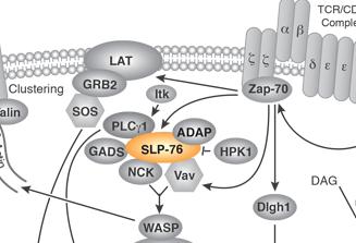 Phospho-SLP-76 (Ser376) Rabbit mAb & Conjugates