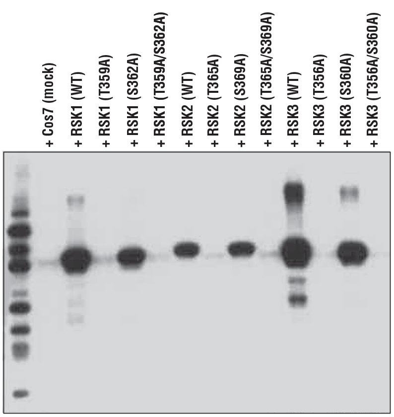WB analysis of extracts from 293T cells, mock-transfected (mock), or transfected with constructs expressing wild-type (WT) RSK1, RSK2, and RSK3, or the indicated site-specific mutations, using Phospho-p90RSK (Thr359) (D1E9), demonstrating phospho-specific reactivity of the antibody with RSK1 (Thr359), RSK2 (Thr365), and RSK3 (Thr356).