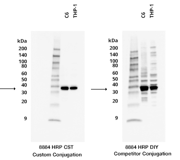 18-WFO-15801-Comparison of HRP-conjugated antibody in Western Blot-v.2
