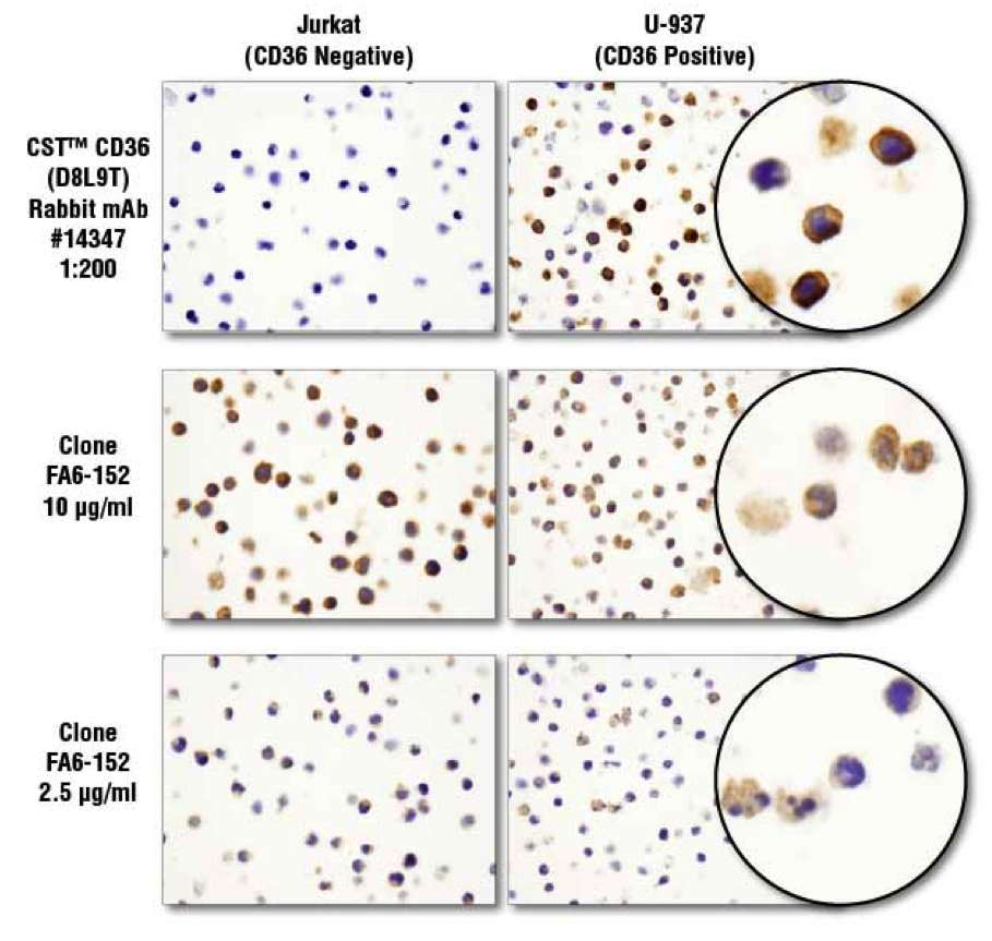 IHC: CD36 (D8L9T) Rabbit mAb #14347 is more specific and sensitive than another CD36 clone.