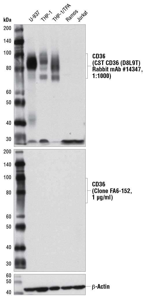 WB: CD36 (D8L9T) Rabbit mAb #14347 specifically detects endogenous CD36 better than clone FA6-152