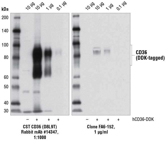 WB: CD36 (D8L9T) Rabbit mAb #14347 specifically detects transfected CD36 with more sensitivity than clone FA6-152