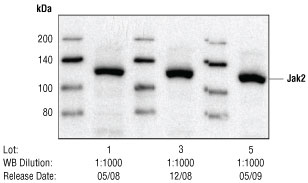 Western blot analysis of HeLa cells, untreated or treated with IFN-a.