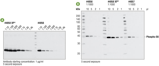 Comparing western blot analysis using XP® #4858 and non-XP® #4856 and #4857