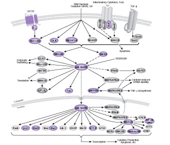 Signaling Pathways Activating p38 MAPK