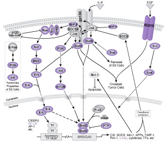 Jak / Stat Signaling: IL-6 Receptor Family