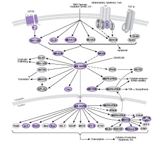 Mitogen Activated Protein Kinase Signaling Cascades