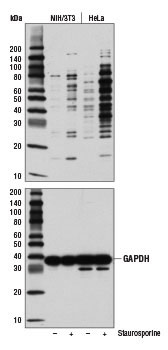 Cleaved Caspase Substrate Motif [DE(T/S/A)D] MultiMab Western Blot