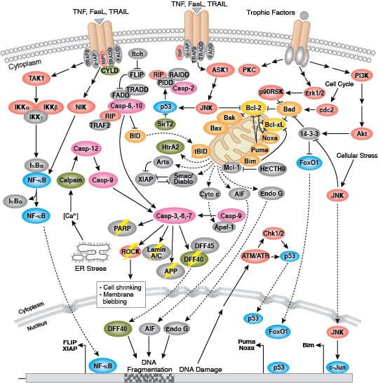 Regulation of Apoptosis