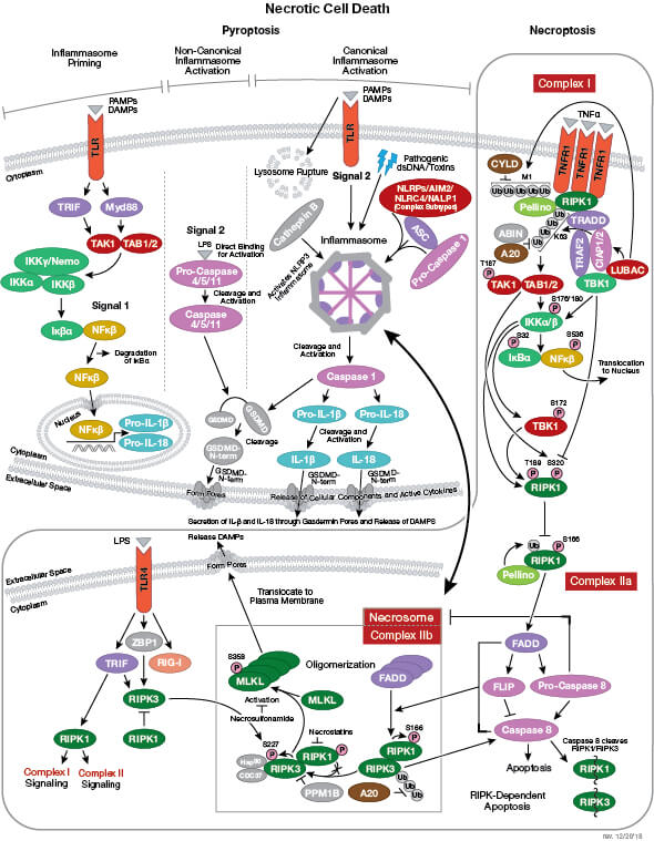 Necrotic Cell Death Signaling Interactive Pathway