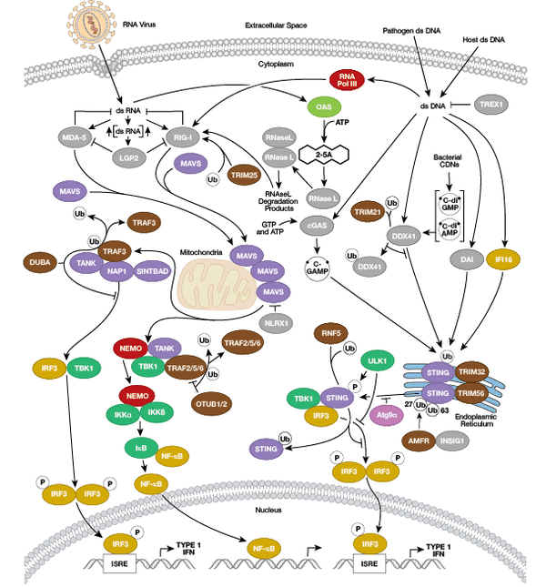 STING Cell Intrinsic Innate Immunity Signaling Pathway