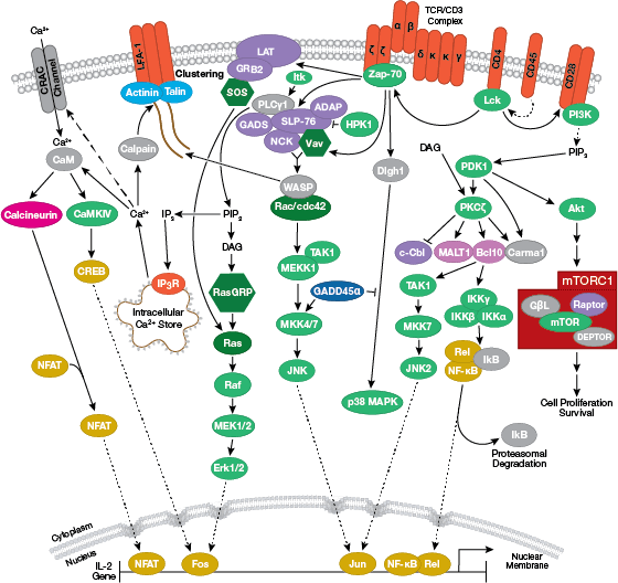 T Cell Receptor Signaling Pathway