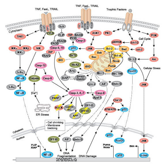 Regulation of Apoptosis Overview