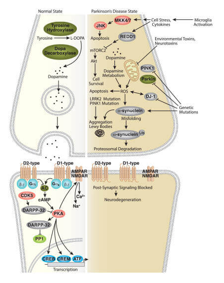 Dopamine Signaling in Parkinson's Disease Interactive Pathway