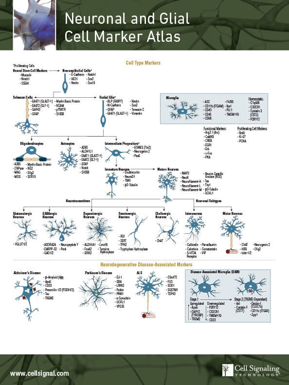 Neuronal and Glial Cell Marker Atlas