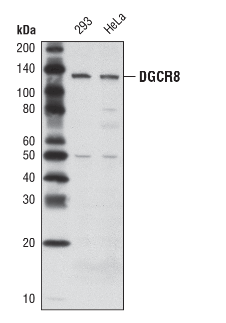 DGCR8 (D78E4) Rabbit mAb #6914