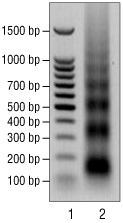 1% agarose gel stained with ethidium bromide.