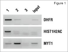 K562 chromatin was immunoprecipitated with Tri-Methyl-Histone H3 (Lys4) (C42D8) Rabbit mAb #9751