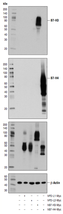 Western Blot Analysis of B7-H3 and B7-H4 proteins