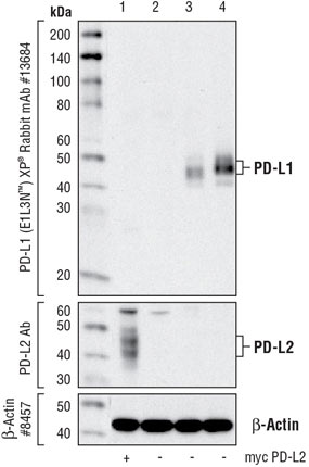 PD-L1 Western Blotting