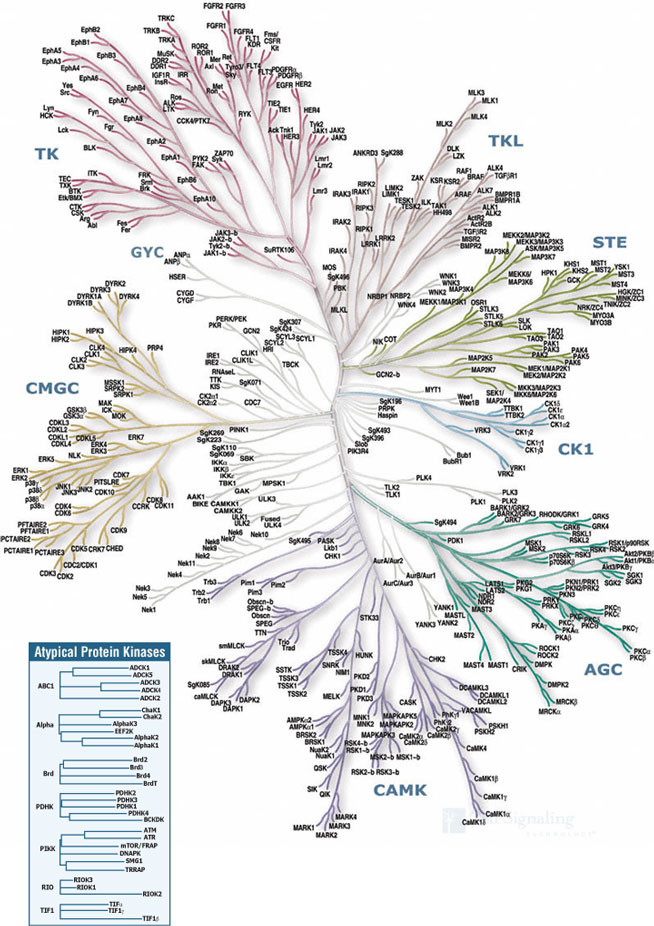 Protein Kinases Human Protein Kinases Overview Cst