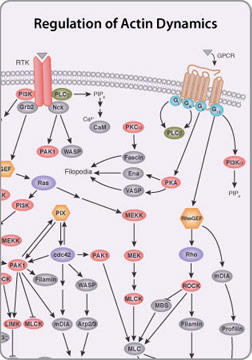 Regulation of Microtubule Dynamics Pathway