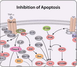 Apoptosis Resources Cell Signaling Technology