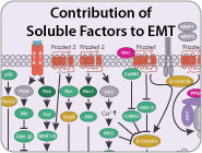 Contributions of Soluble Factors to EMT Signaling Pathway