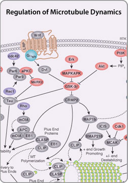 Regulation of Actin Dynamics Pathway