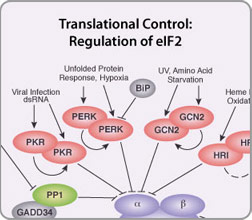 Regulation of eIF2