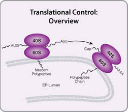 Translational Control Overview