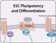 ESC Pluripotency and Differentiation Pathway