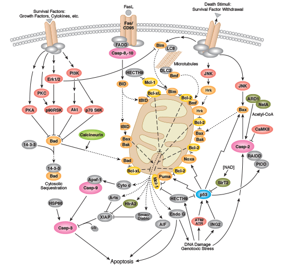 Mitochondria In Apoptosis Signaling Interactive Pathway Cst