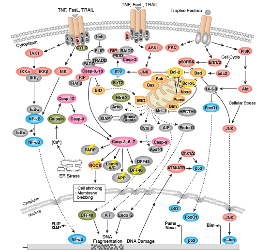 Apoptosis Overview