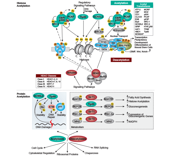 Protein Acetylation Signaling