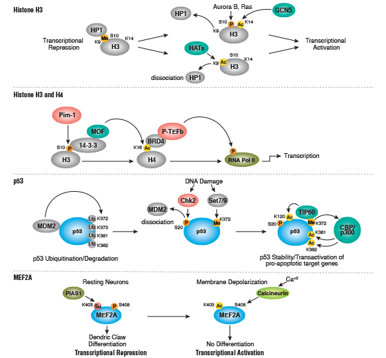 Post-Translational Modification (PTM) Crosstalk Signaling