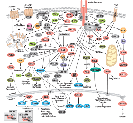Insulin signaling pathway ppt to pdf
