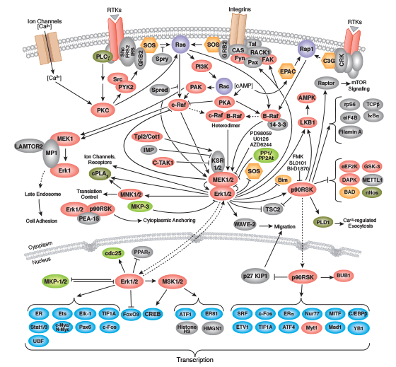 MAPK/Erk in Growth and Differentiation Signaling