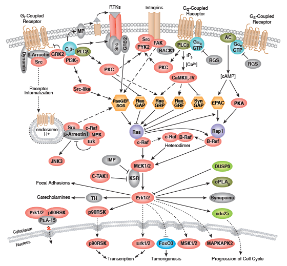 G Protein-Coupled Receptors Signaling to MAPK/Erk