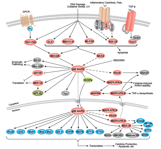 Signaling Pathways Activating p38 MAP Kinase