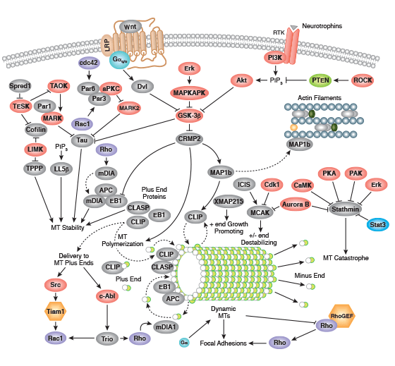 Regulation of Microtubule Dynamics Signaling