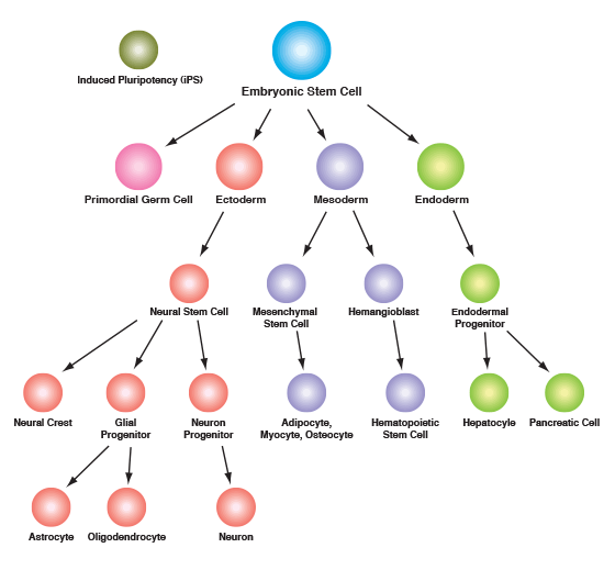Stem Cell and Lineage Markers