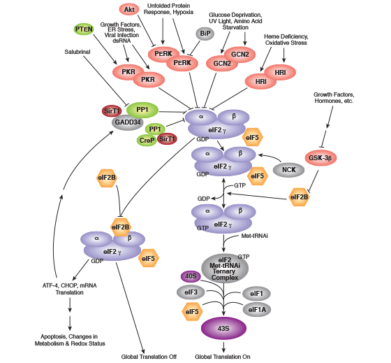Translational Control / Regulation of eIF2