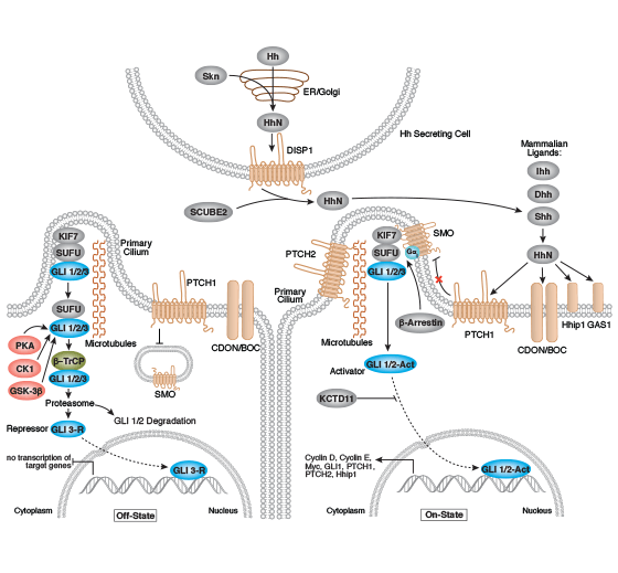 Hedgehog Signaling